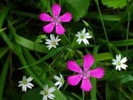 Maiden Pink and Lesser Stitchwort wildflowers