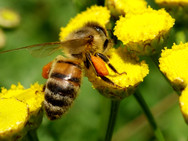 One of our Honey Bees gathering pollen from Common Tansy wildflowers