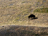 Bison Paddock, Waterton
