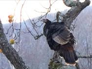 Wild turkey in our apple tree