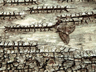 A moth on the bark of a White Birch tree