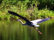 Blue Heron flying over our front pond