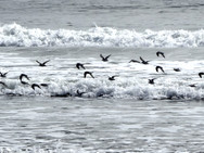 Sandpipers frolicking in the surf