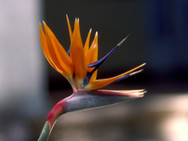 A Bird-of-Paradise flower at the Guadalupe Center in Cuernavaca