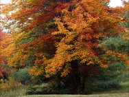 Maple tree in picnic area in glorious autumn colors