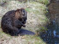 Beaver on the bank of our back pond 3
