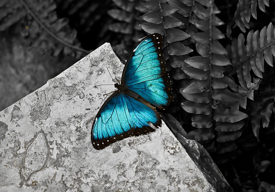 Canva - Blue morpho butterfly on grey st