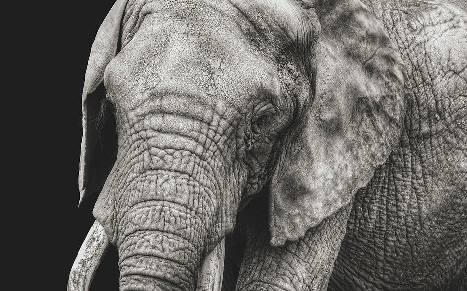 Canva - Closeup of an Elephant.jpg