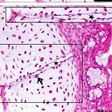 histology-histopathology-research-duck-c