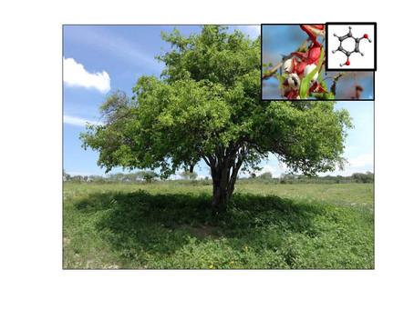 (436) Análisis preliminar de la extracción de resorcinol a partir de Pithecellobium dulce