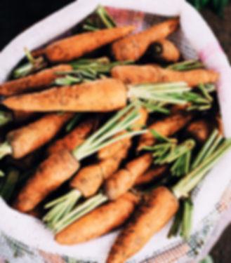 Cenouras orgânicas