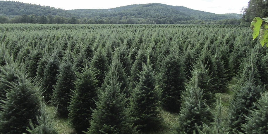 Field by Pemi River 10,000 Christmas Trees