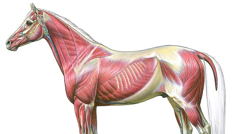 Muscles du cheval.jpg