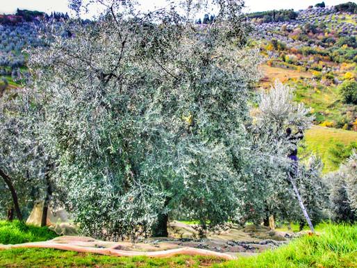 L'Olio Extravergine di Oliva, un concentrato naturale e indispensabile di energia