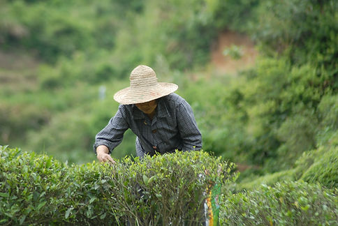 Qi Tea pickers