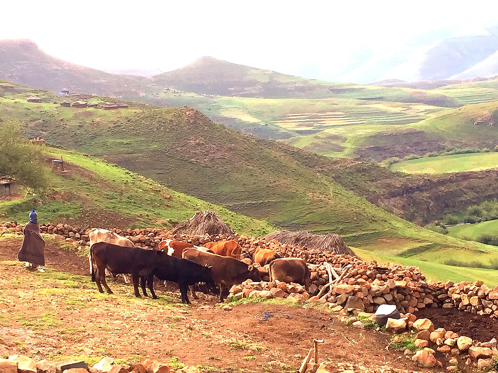 herds boy cattle Lesotho South Africa shepherd