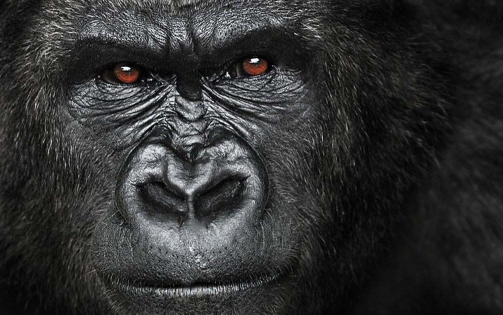 Gorilla-Wallpapers-HD.jpg