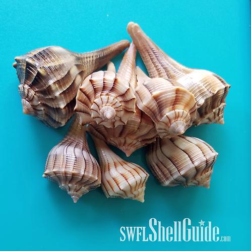 BULK SHELLS! Lightning Whelks (20)
