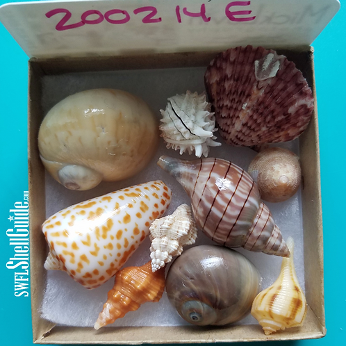 Rare Collectible SWFL Sea Shell Package - Huge Gaudy Nautica