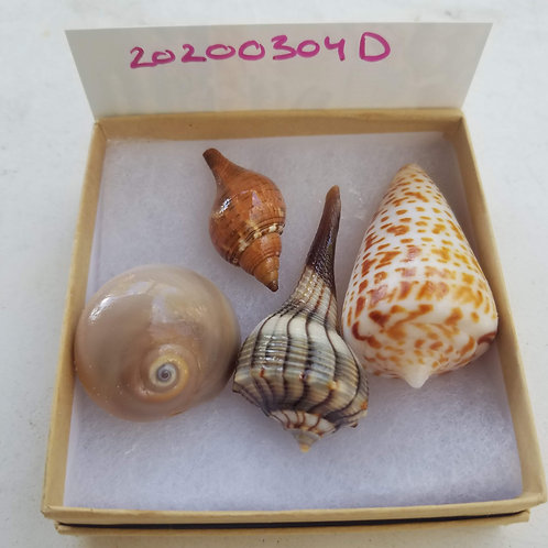 Rare Collectible SWFL Sea Shell Package - Dark Tail Lightning Whelk