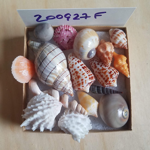Collectible SWFL Sea Shell Package - Chocolate Cones & Sea Bean