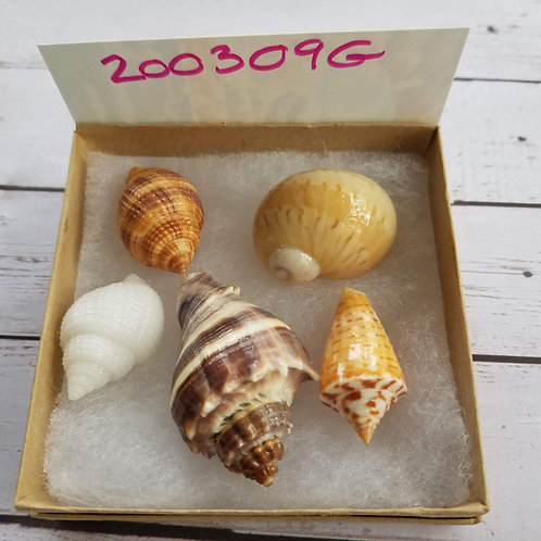 Rare Collectible SWFL Sea Shell Package - King Crown Conch