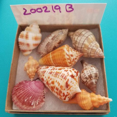Rare Collectible SWFL Sea Shell Package - Florida Cone