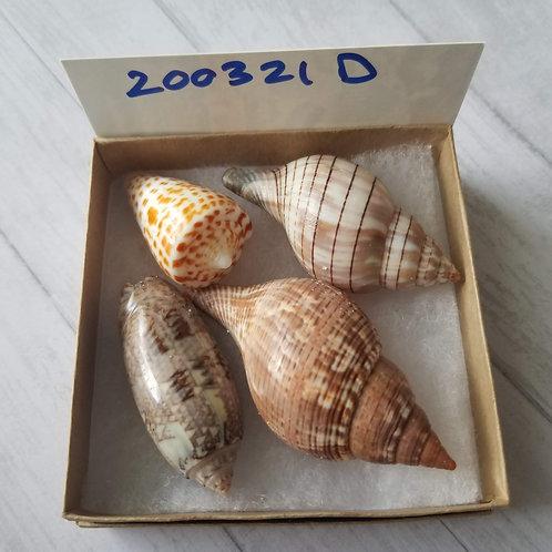 Rare Collectible SWFL Sea Shell Package - True Tulip Alphabet Cone