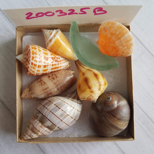 Collectible SWFL Sea Shell Package - Sea Glass Shark Eye Cones