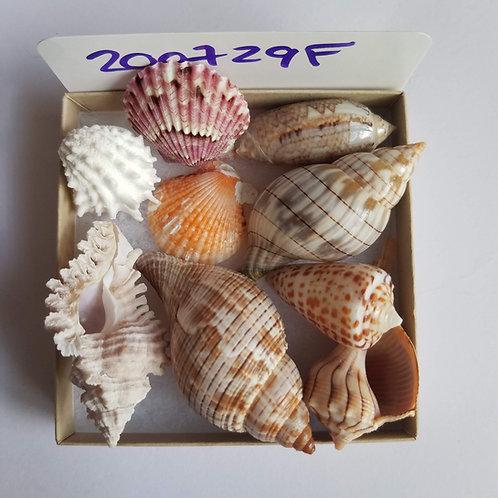 Collectible SWFL Sea Shell Package - True Tulip Cone