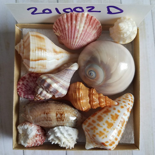 Collectible SWFL Sea Shell Package - Shark Eye