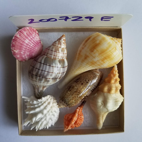 Rare Collectible SWFL Sea Shell Package - Rose Murex