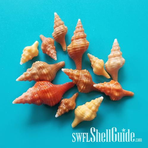 BULK SHELLS! Horse Conchs (20)