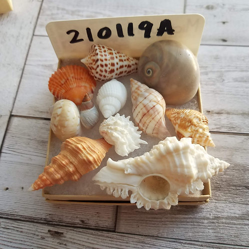 Collectible SWFL Sea Shell Package - Albino Nutmeg & Periwinkle