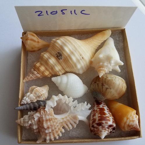 Collectible SWFL Sea Shell Package - Albino Nutmeg & True Tulip