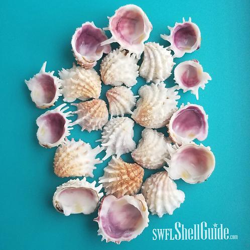 BULK SHELLS!  Spiny Jewel Box Halves (100)