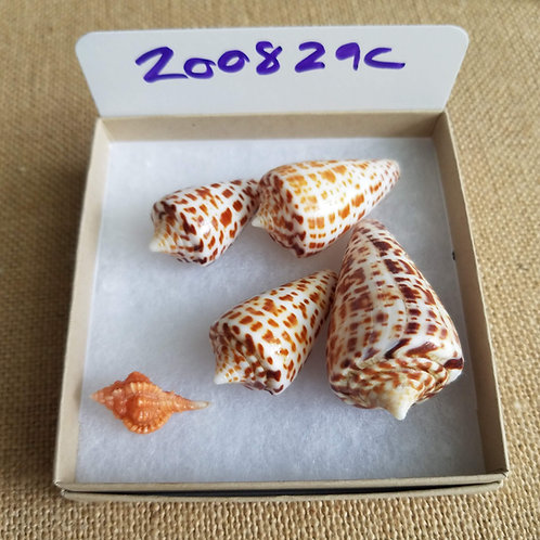 Rare Collectible SWFL Sea Shell Package - Chocolates & Rose