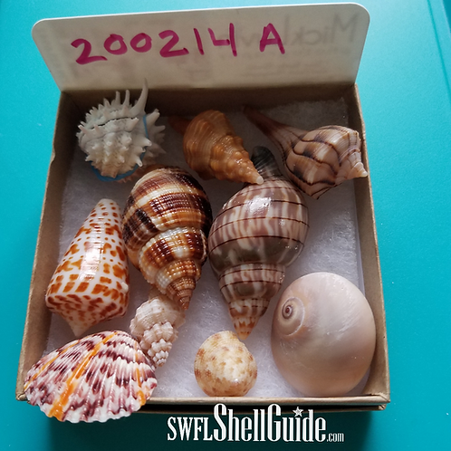 Rare Collectible SWFL Sea Shell Package - Huge Nutmeg