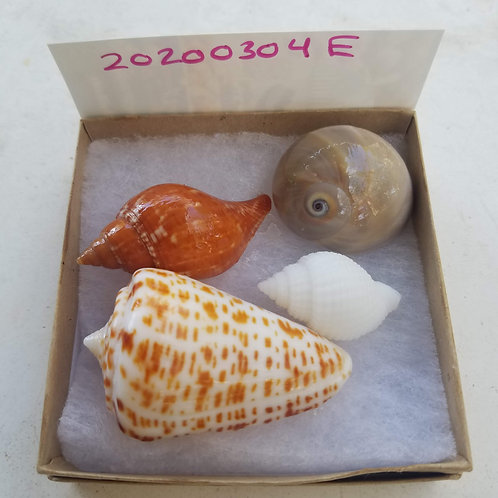 Rare Collectible SWFL Sea Shell Package - Albino Nutmeg