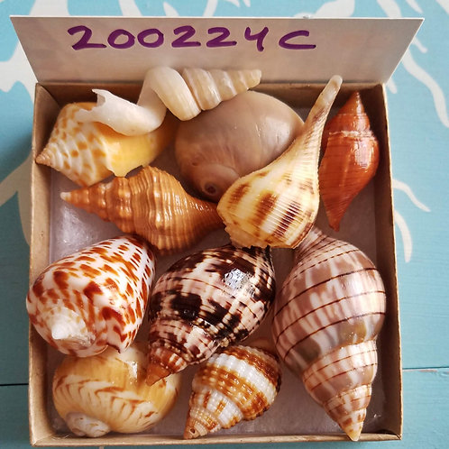 Rare Collectible SWFL Sea Shell Package - True Tulips