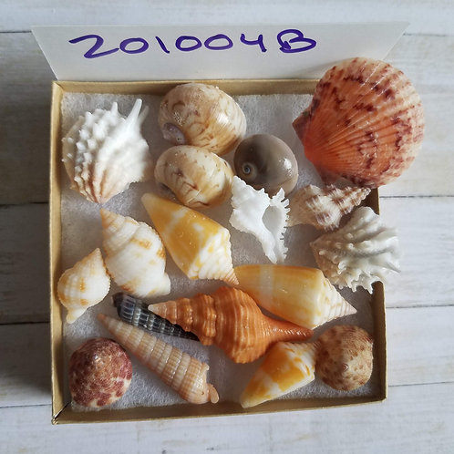 Collectible SWFL Sea Shell Package