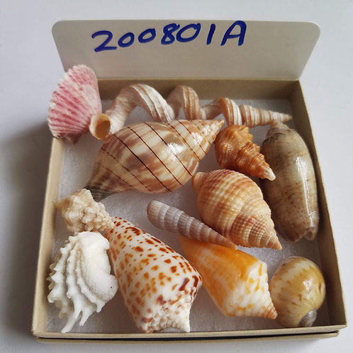 SWFL Shell Collection Starter Kit