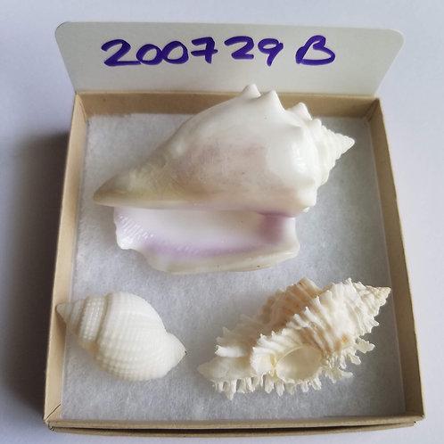 Rare Collectible SWFL Sea Shell Package - Albino Fighting Conch