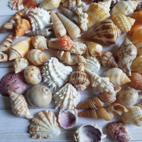 Lot of Mini Collectible SWFL Sea Shells - Rose Murex Augers Conchs