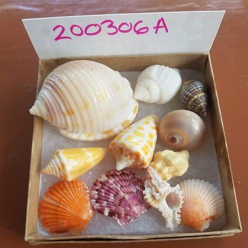 Rare Collectible SWFL Sea Shell Package - Scotch Bonnet