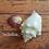 Thumbnail: Rare Collectible SWFL Sea Shell - Albino Fighting Conch