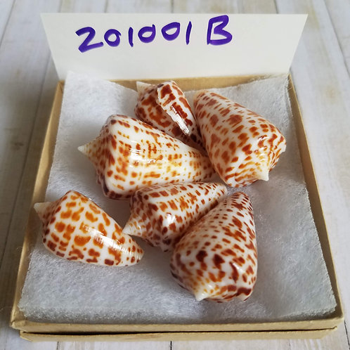 Collectible SWFL Sea Shell Package - Chocolate Cones
