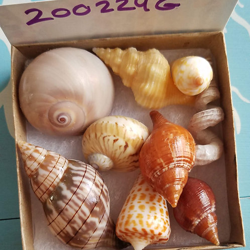 Rare Collectible SWFL Sea Shell Package - Red True Tulips
