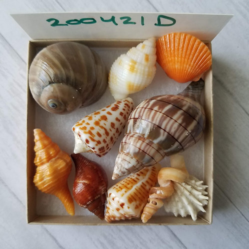 Collectible SWFL Sea Shell Package - Chocolate Alphabet Cone