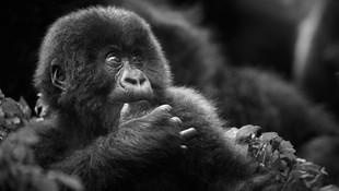 ©Philip_Lee_Harvey_OO_GorillasNest.jpg
